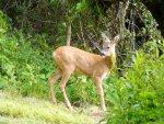 Young Deer2